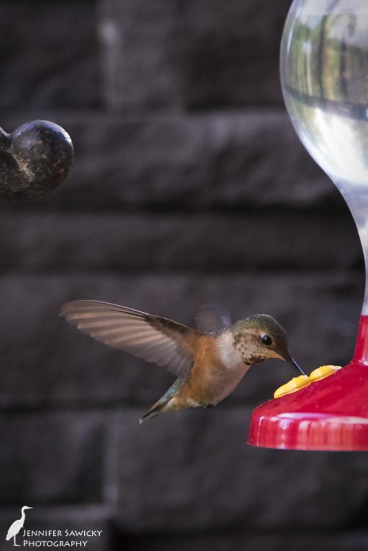 Prince George Hummingbirds-6