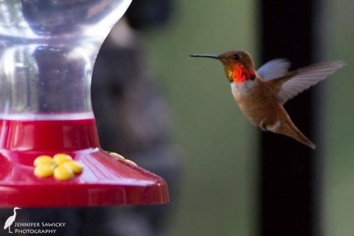 Prince George Hummingbirds-7