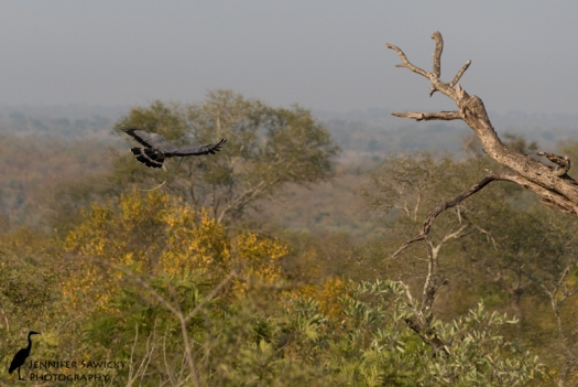 An African harrier hawk flies with a green spotted wood snake in its mouth. 1/1000 sec, f8.0, ISO 320