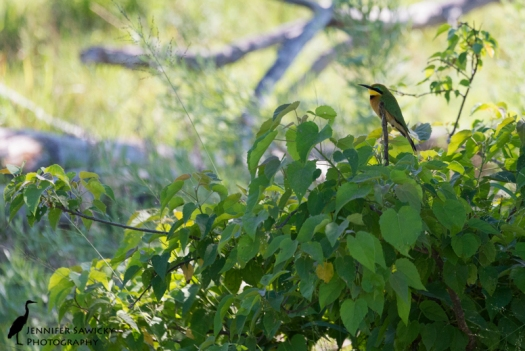 A little bee eater perched in the shade, away from the mid day heat. Baines Camp, Okavango Delta, Botswana. April 2015.