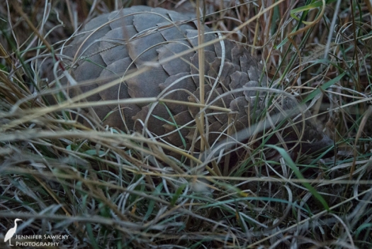 We were very lucky to see the pangolin so active.  Our tracker Judas had only seen them stationary before, and he has spent most of his life in the bush.
