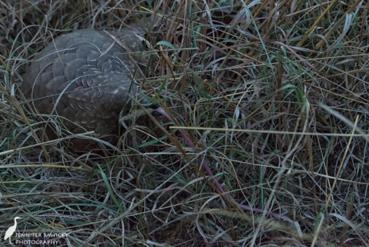 Yup, that's a pangolin sticking its enormous tongue out.