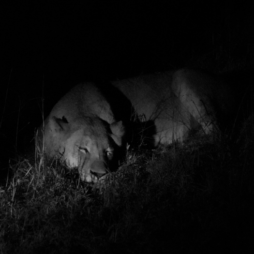 A lioness tries to catch 40 winks, but the male lion nearby definitely had other things on his mind! (More on that in another post!) Chitwa Chitwa, May 2015