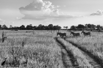 A group of zebras cross one of the tracks that criss cross portions of the Okavango Delta. April, 2015 1/800sec, f8.0, ISO 720