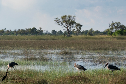 A group of caribou storks patrol the shallow waters of the Okavango Delta.