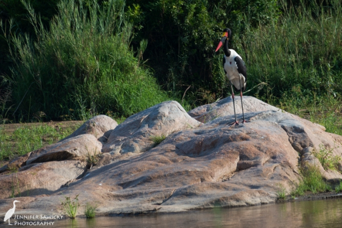 A beautiful saddle-billed stork watches the Sand River. May, 2015. 1/1000sec, f7.1, ISO 280