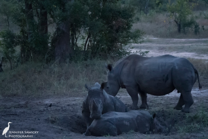 A crash of rhino enjoy an early evening mud wallow. 1/100sec, f4.8, ISO 6400