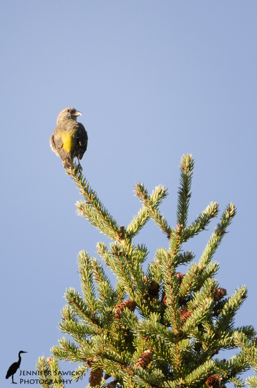 20150825_red crossbill-3
