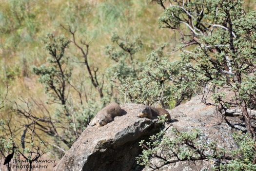 A pair of dassies sun themselves on a granite boulder.