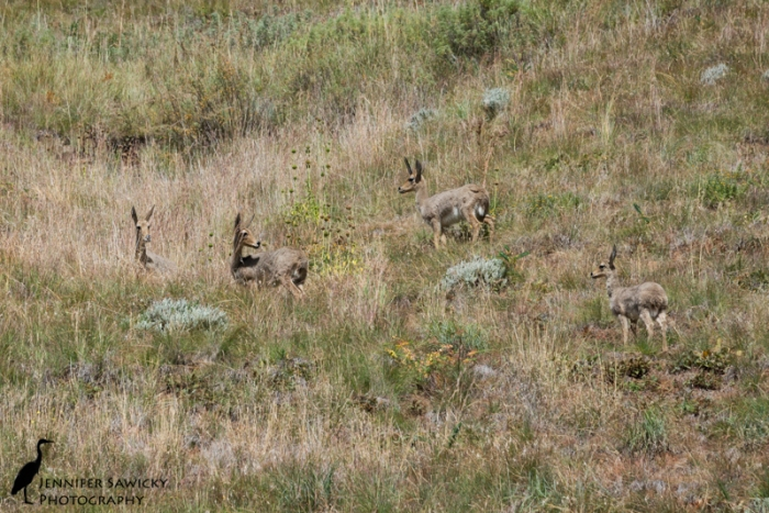 I wish I recalled what type of antelope these are.  I hope a local stumbles across this post and will let me know.