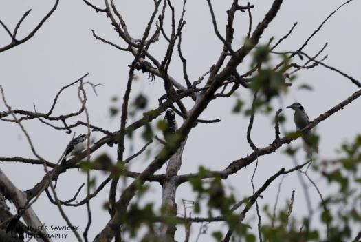 20150830_Hairy Woodpeckers-2