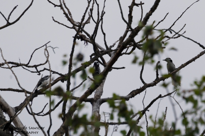 20150830_Hairy Woodpeckers-2
