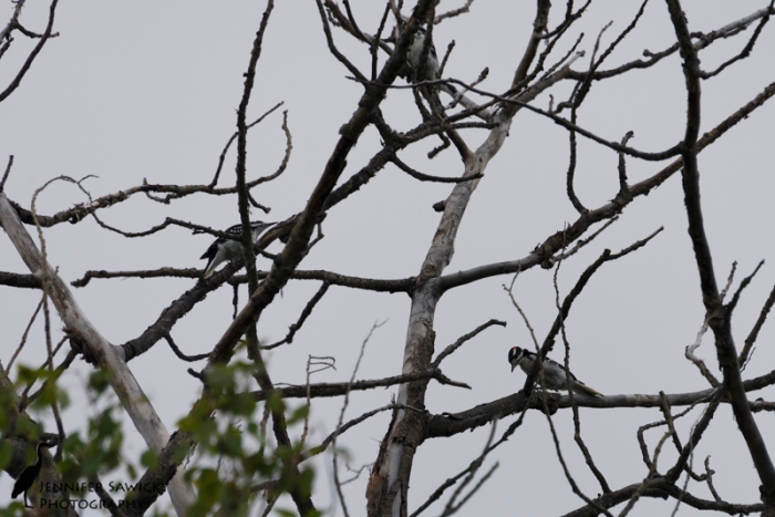 20150830_Hairy Woodpeckers-3