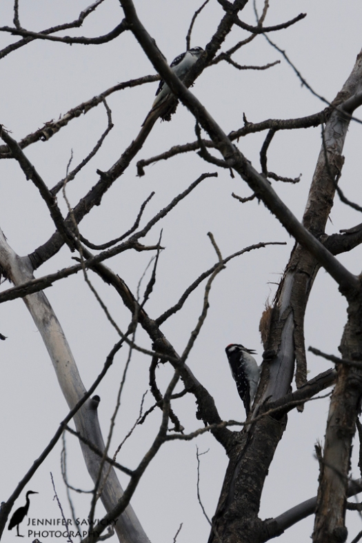 20150830_Hairy Woodpeckers-5
