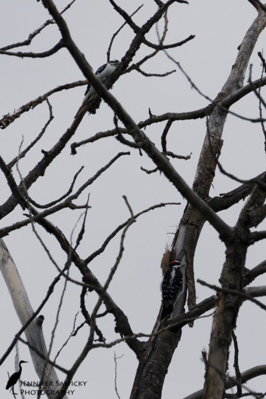 20150830_Hairy Woodpeckers-6