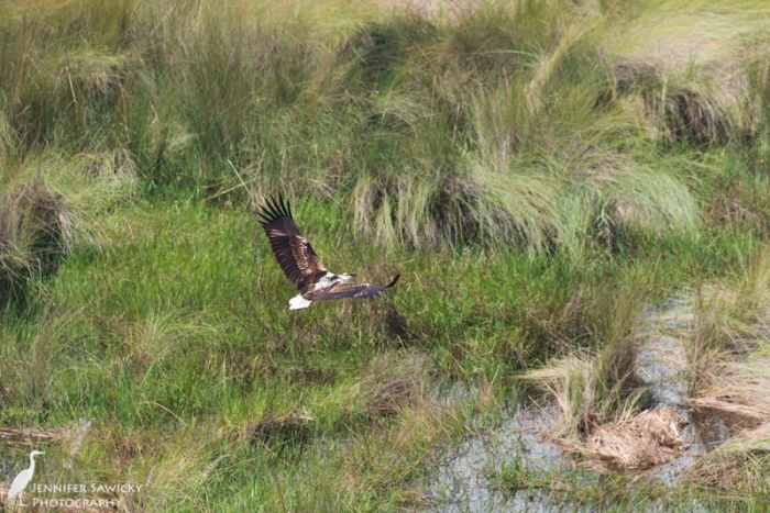 Watching a fish eagle fly from above, during a helicopter tour of the Okavango Delta. 1/1000sec, f9.0, ISO 900