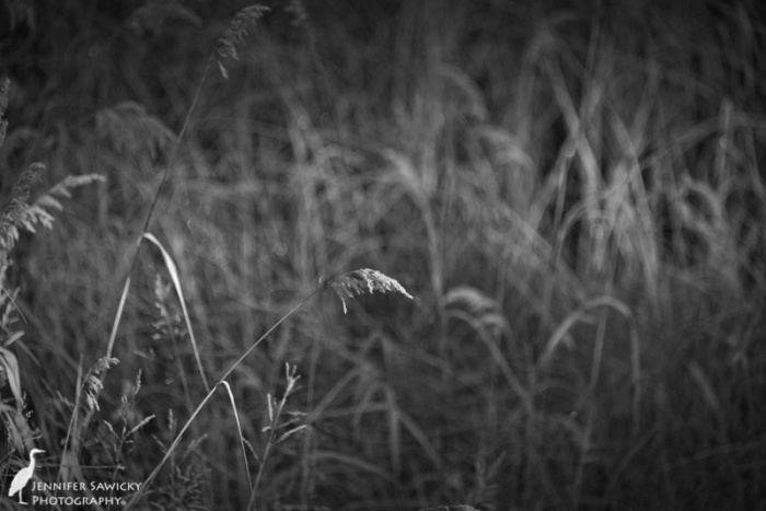 Some of the roadside tall grasses, glistening with frost in the early morning sun. 1/800sec, f5.6, ISO 1250