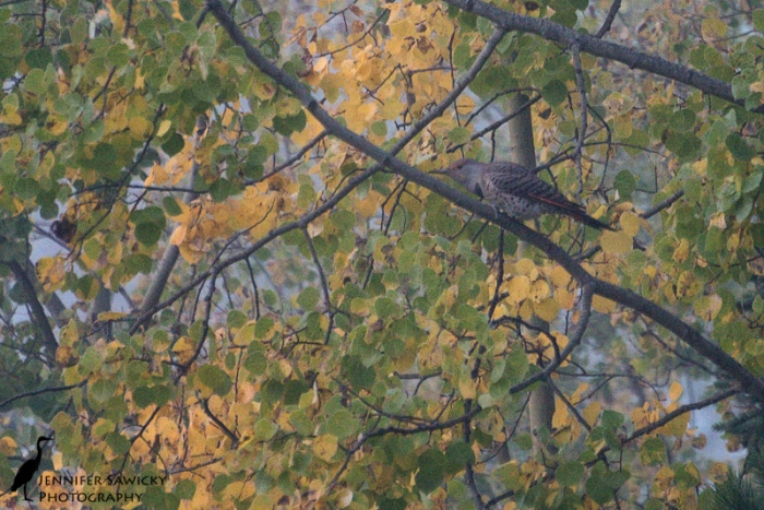 Unfortunately my chance to get a photo of the local northern flicker was marred by both low light and fog, but hopefully I will get another chance soon under more favourable conditions.
