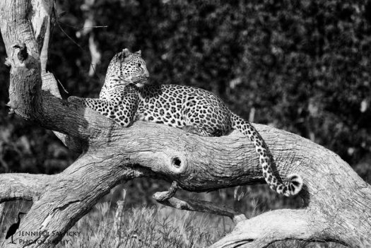 A gorgeous female leopard lounges on a fallen tree.  I love the positioning of her head and the curl of her tail.  I even like the harsh shadows, as it shows she was out and about long after leopard are usually tucked away for the day to beat the heat. 1/1600sec, f7.1, ISO 640  Monochrome conversion using Nik Silver Efex Pro