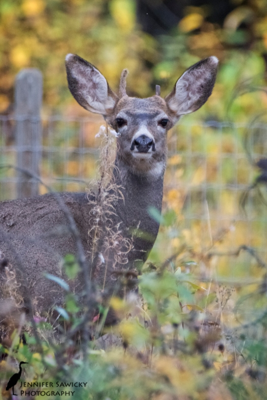 Just as I was leaving to take Spencer for his afternoon walk, I noticed this young deer grazing in my back yard.  He spent a few moments watching me watch him, before getting back to eating. 1/1000sec, f8, ISO 2200