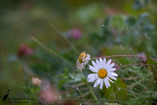 One wildflower clings on, it's neighbour having already given in to the chill of autumn. 1/160sec, f6.3, ISO800