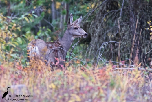 Earlier this week, a Mom with a fairly large fawn spent some time in the front yard; again I saw them when heading out for our afternoon walk.  These ones were far less comfortable with my presence and hopped off deeper into the bushes very quickly. 1/500sec, f6.3, ISO2800