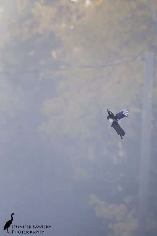A black billed magpie flying through the fog. 1/800sec, f6.3, ISO 2000