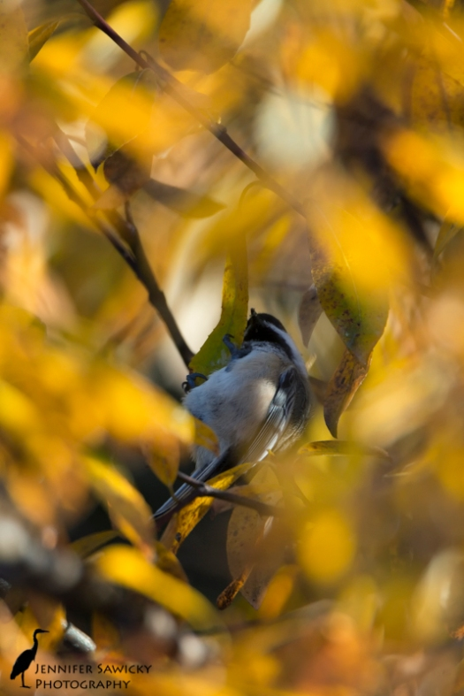 This little chickadee was clinging quite precariously to a branch, almost upsidedown.  I like how the autumn leaves create a frame for the bird. 1/800sec, f6.3, ISO1000