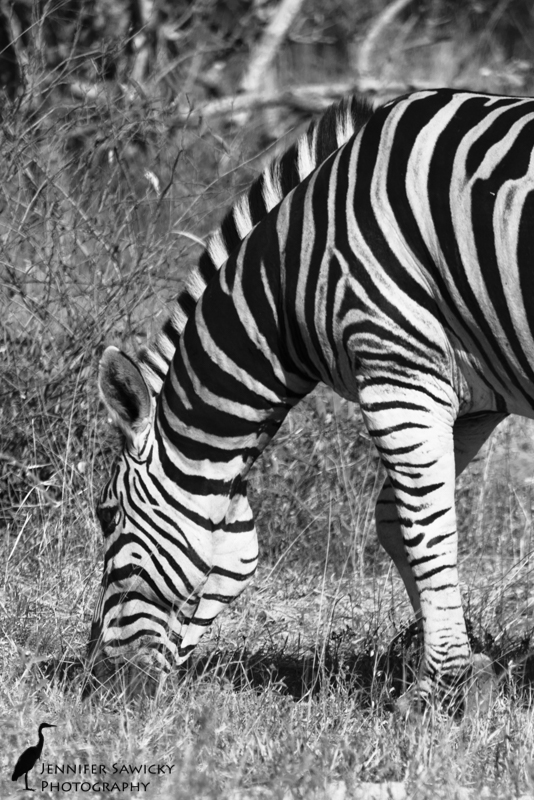 You'd think it would be easy to edit a zebra in black and white.. but surprisingly it took me some time before I found the look I was seeing in my minds eye. Grazing in the Sabi Sands, May 2015 1/800sec, f5.6, ISO110
