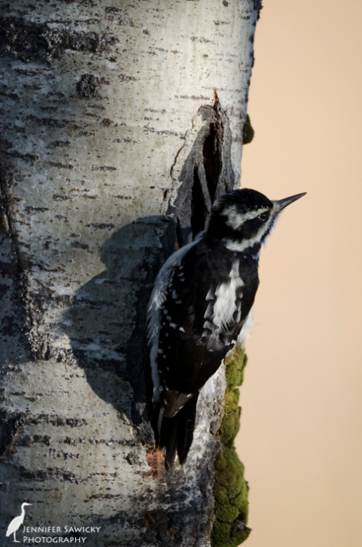 I spent some time today with the hairy woodpecker family (I posted a few photos of them last week as well).  The light today was far better, and the birds were so much closer :)