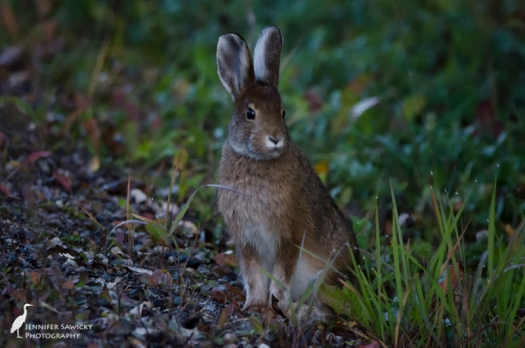 I've seen lots of bunnies around my area, but never when I have my camera.  This little one was about 10 feet from my driveway, spotted on the way home from our morning walk.  He was quite calm and I felt bad startling him when I got too close, but I had to get in and get on with work. 1/640sec, f7.1, ISO2000