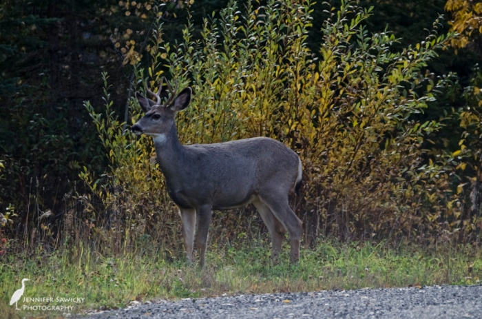 A young male deer at the top of my road.  The light wasn't very favourable, but that just made the photos less than stellar, not the moment. 1/1000sec, f7.1, ISO800