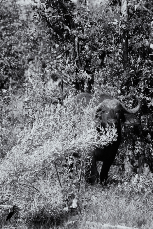 Definitely not the face you want to see staring at you from behind some bushes. A cape buffalo. Okavango Delta, April 2015. 1/400sec, f9.0, ISO 500