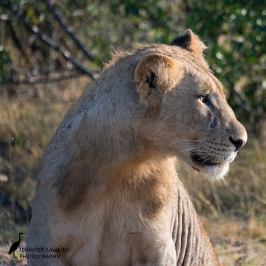 One of the young males of the Tsalala pride.