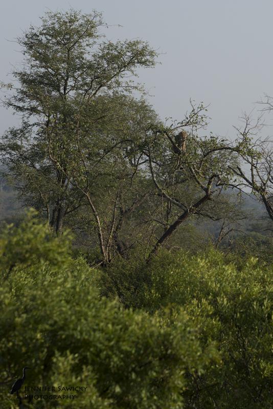 A full grown leopard in a very scrawny tree!