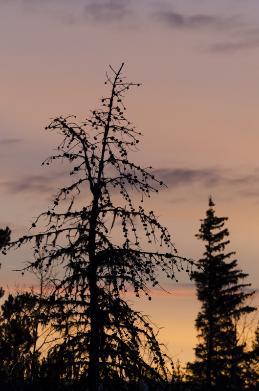 Evergreens silhouetted against a colourful morning sky.