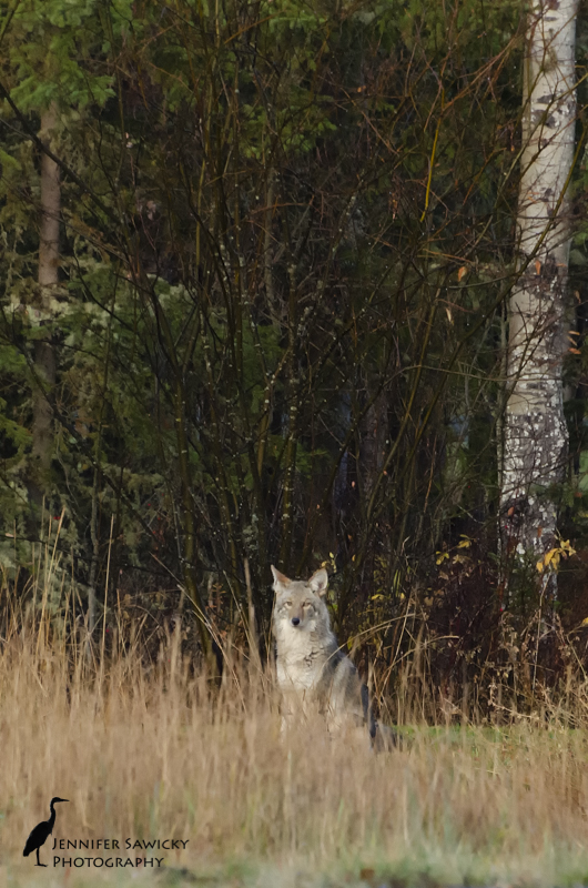 We spotted a coyote at the end of the road yesterday morning.