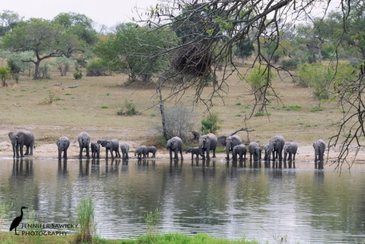 My happiest of happy places is anywhere that I am in the company of elephants :) A breeding herd down for their afternoon drink at the watering hole in front of Chitwa Lodge, Sabi Sands, May 2015 1/500sec, f11, ISO1250