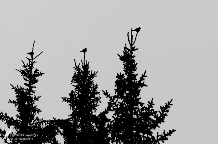 The three birds posed in the treetops are part of a much larger group that were pecking at the pinecones.  With the fog, I wasn't able to make a species ID.