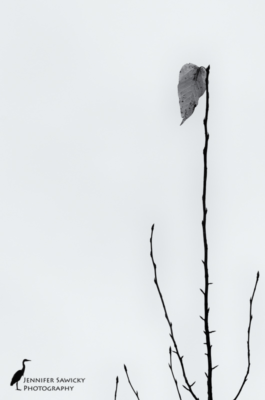 Yesterday afternoon there were 3 leaves clinging to the top of this tree.  After the snowfall this morning, only a lone leaf remains.   Autumn is quickly giving way to winter. 1/1000sec, f5.6, ISO500