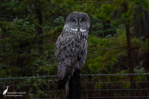 My first sighting of a great grey owl.