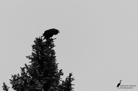 A raven (or a really, really big crow) calls out on a grey, snowy day. 1/500sec, f5.6, ISO1600