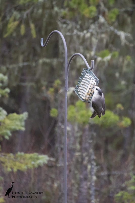 I finally decided to get some food out for the birds, now that the daily highs are in the low single digits (celsius).  The first visitor I had was totally new to me, a grey jay.