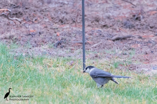 The grey jay kindly tidying up some dropped seeds.  There was actually a pair of them, but only one fed at a time.