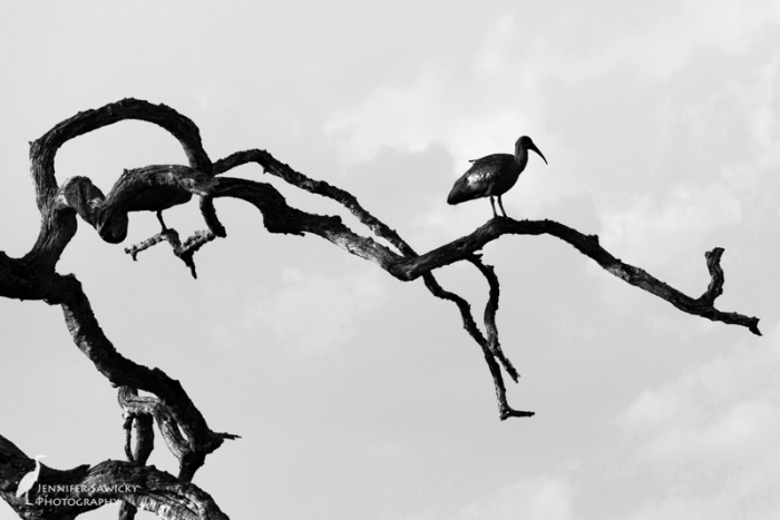 A hadeda ibis perched on some gnarly, dead branches. 1/100sec, f10, ISO400