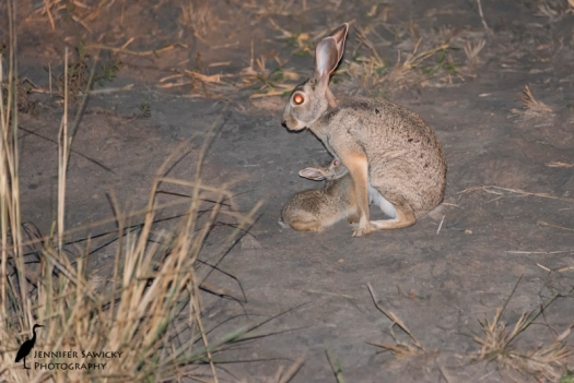 I've had some good success getting photographs of hares in South Africa.  This one just tugs at my heart though.  To witness such a tender moment, with the young one suckling, was so unexpected.  I saw this while we were heading back to camp; we only kept the light on for a really quick photo, so as not to draw attention to the area. 1/200sec, f5.6, ISO 6400