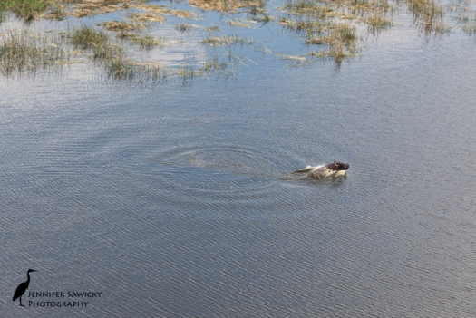 While on a helicopter tour of the Okavango Delta, we watched a hippo running through the water, and at one point, launch out of the water.  Here's one on the way up.