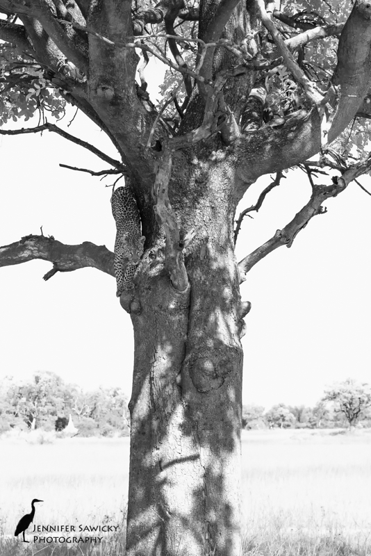 Over two days, I spent about two hours with two different leopards in trees in the Okavango Delta.  They are wonderful to watch, and the agility moving about a tree is amazing.  I was so lucky to click the shutter at the right moment to capture this one heading out of the tree. 1/2000sec, f8.0, ISO1000