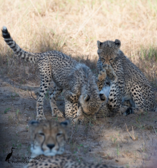 A group of cheetah cubs wrestle behind mom's back. 1/1000sec, f6.3, ISO1250 Phinda, April 2015