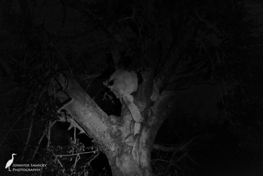 Someone call the firemen; there's a kitty stuck in a tree! This lion cub climbed up in a fit of playfulness, and soon realized the error in his ways.  Thankfully he didn't crash land. 1/60sec, f5.6, ISO 6400 Phinda, April 2015
